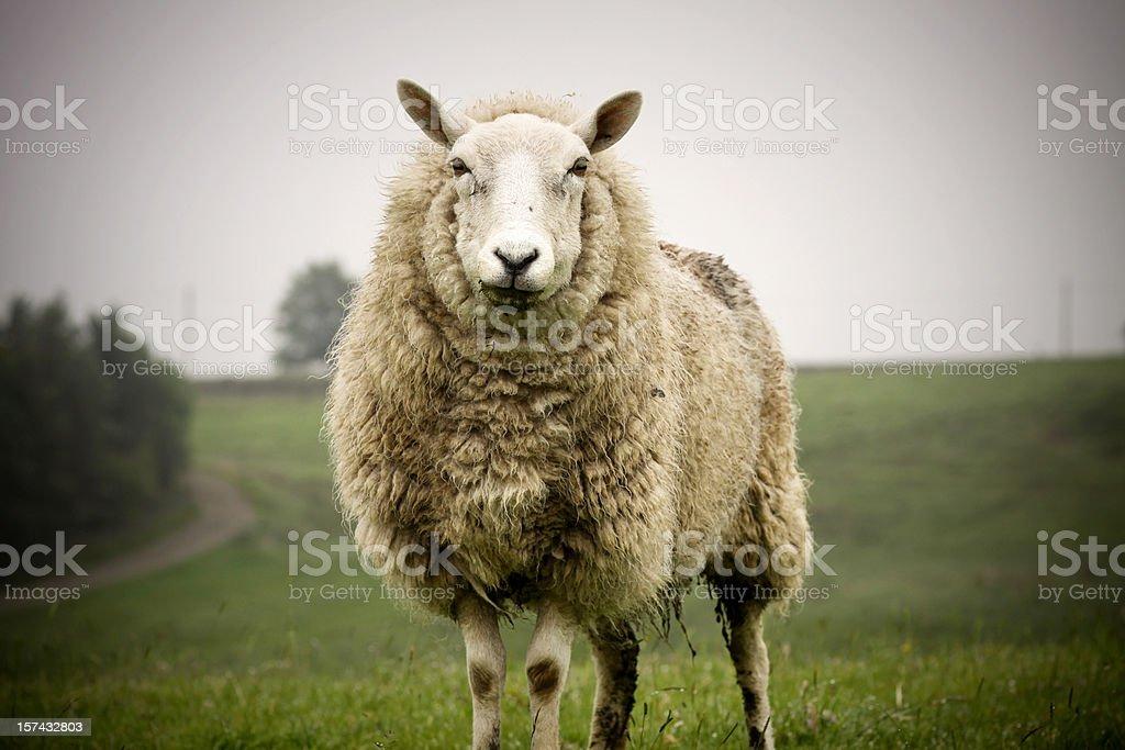 Big Sheep royalty-free stock photo