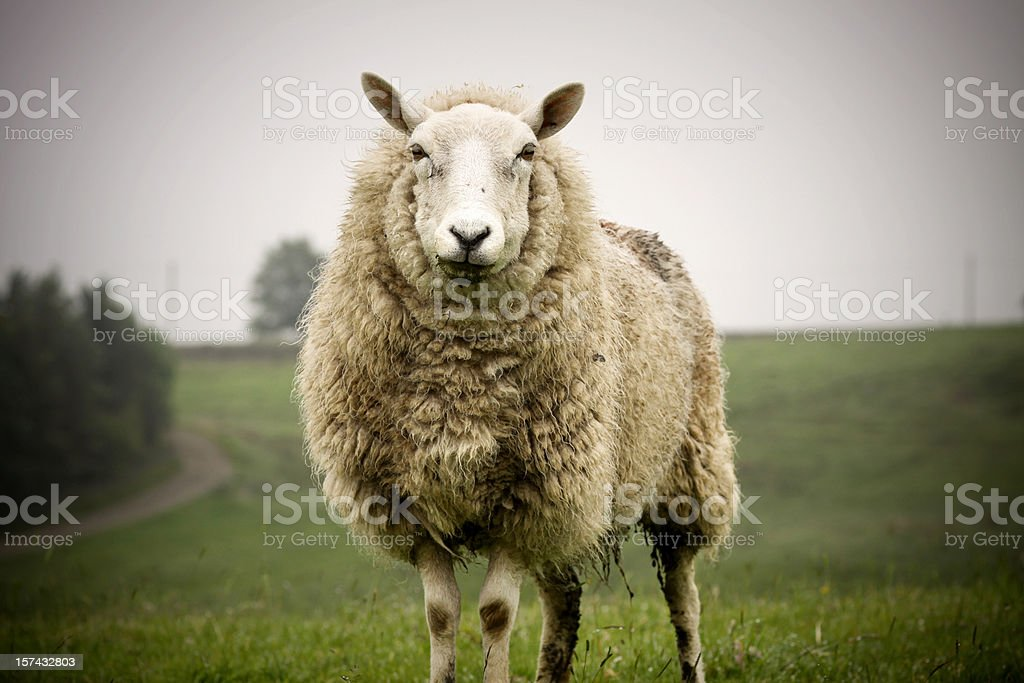 Big Sheep stock photo