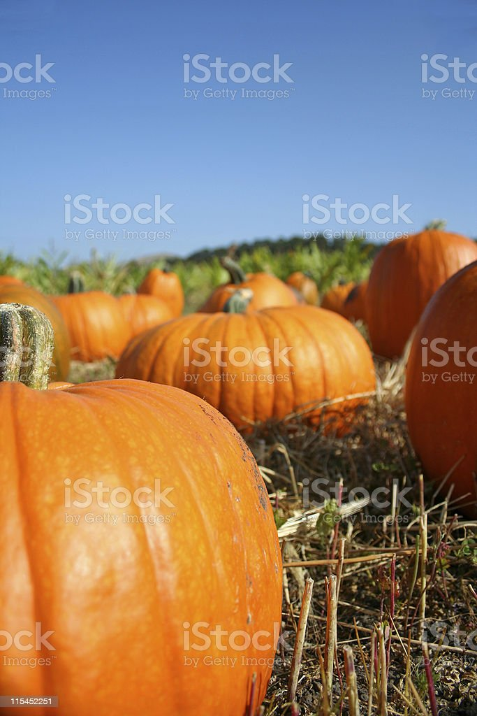 Big shiny pumpkins in a pumpkin patch royalty-free stock photo