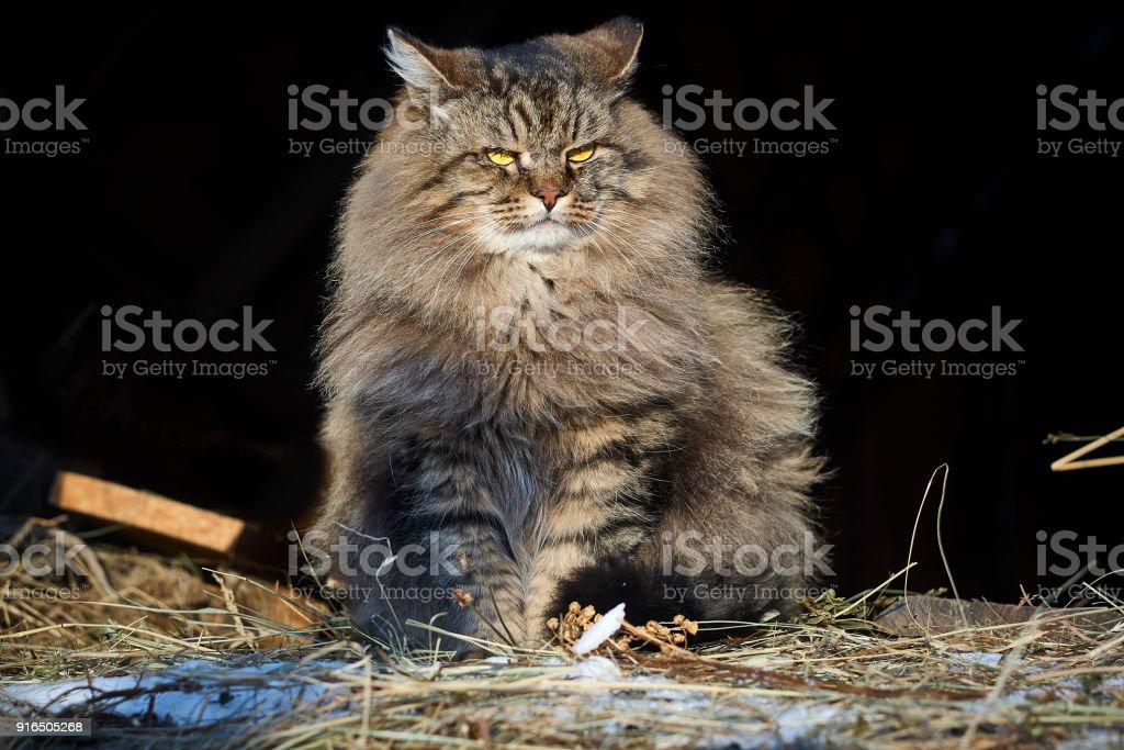 Big siberian cat in sunshine looking aside stock photo