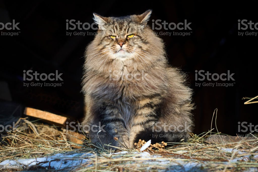 Big siberian cat in sunshine looking at front stock photo