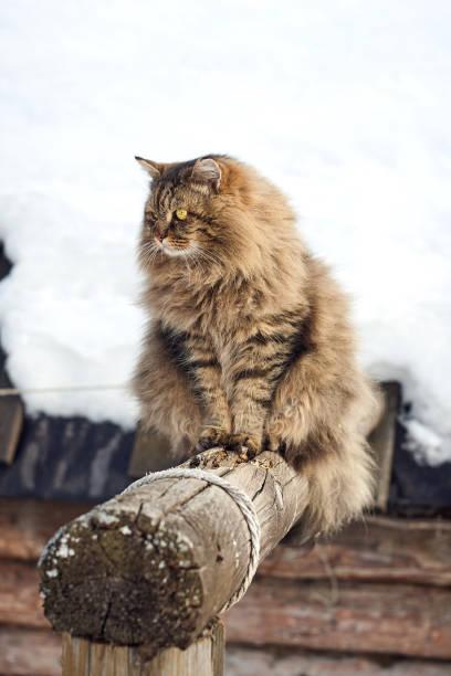 Big siberian cat on log looking side snowy background picture id942233472?b=1&k=6&m=942233472&s=612x612&w=0&h=abjrrfhrsydcwzblpms0kokm2uy17evixyajhpxnthk=
