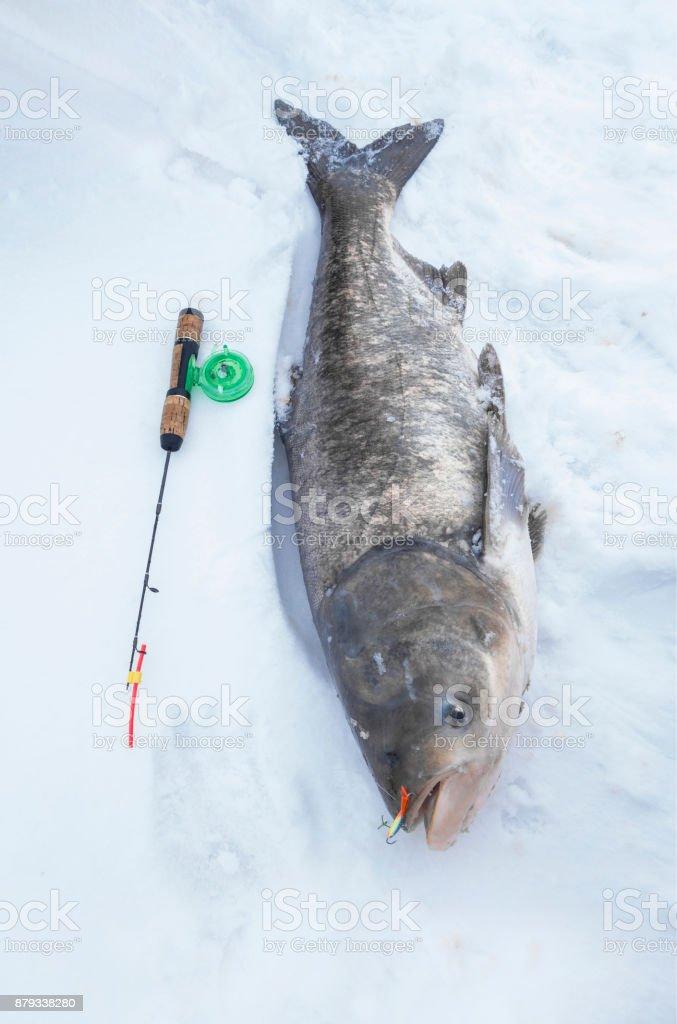 Big silver carp on snow. Ice fishing trophy stock photo