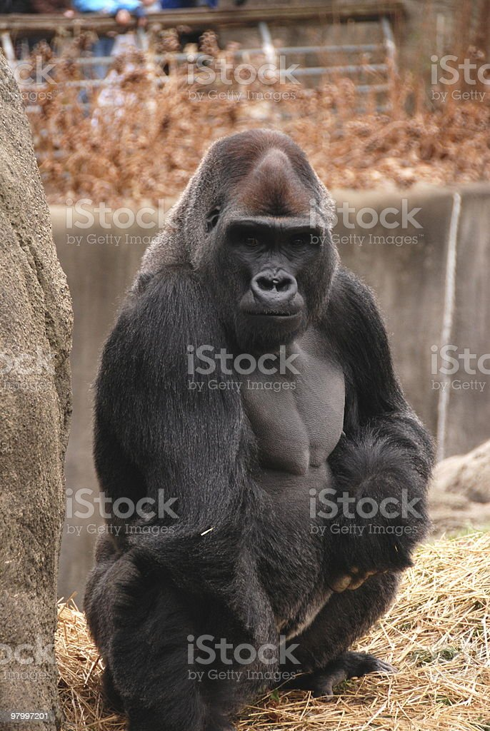 Big silverback gorilla squatting royalty-free stock photo