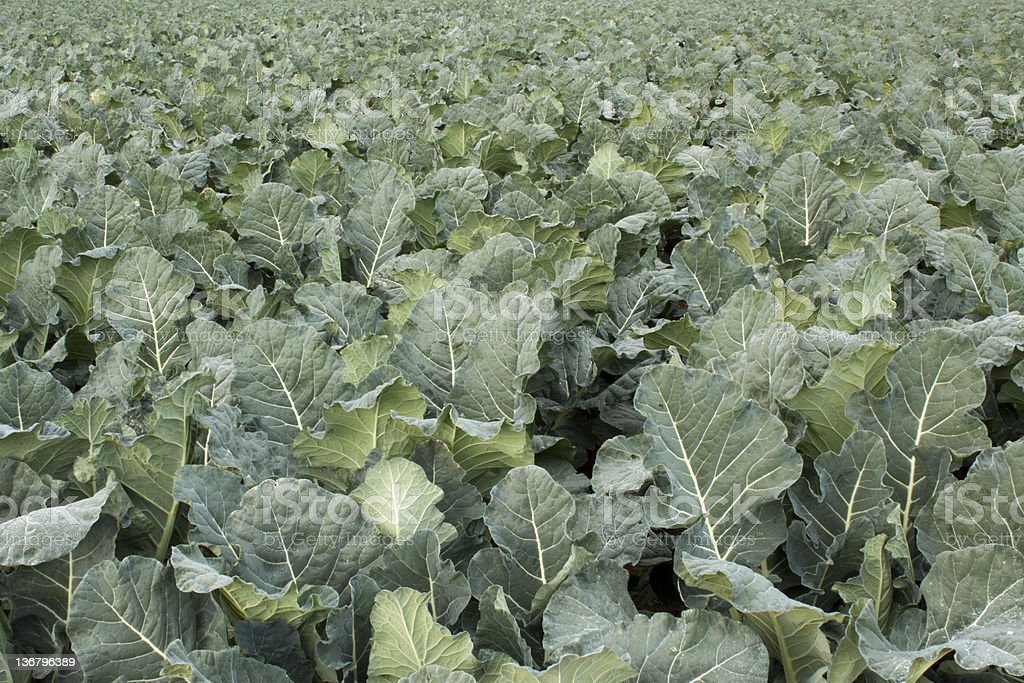 Big size broccoli field stock photo