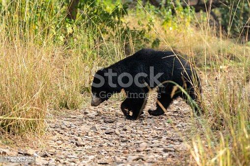 Big Sloth bear or Melursus ursinus vulnerable species encounter in natural habitat during jungle safari. Wildlife scene with danger animal. Head shot of bear at ranthambore national park, india