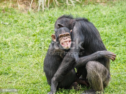 Big smile on young chimpanzee's face when its mother hugs it.