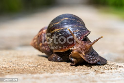 Big snail in shell crawling on road, summer day in garden in Arusha, Tanzania, East Africa, close up