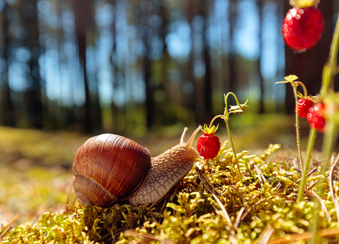 Big snail in the sink crawling to strawberries, summer day in the woods.