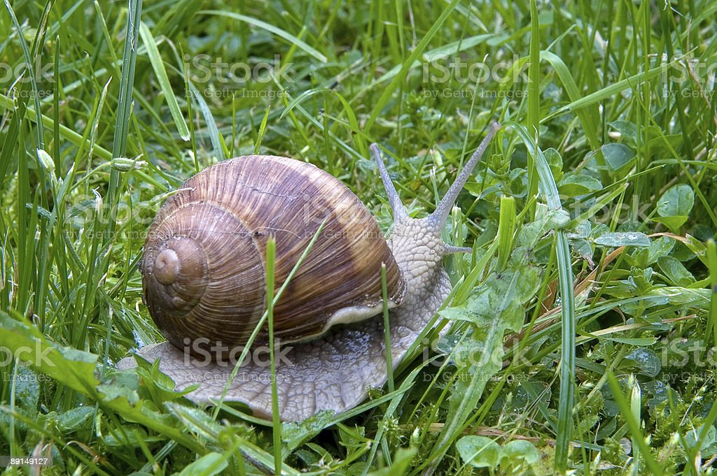 Big snail  on a green grass royalty-free stock photo