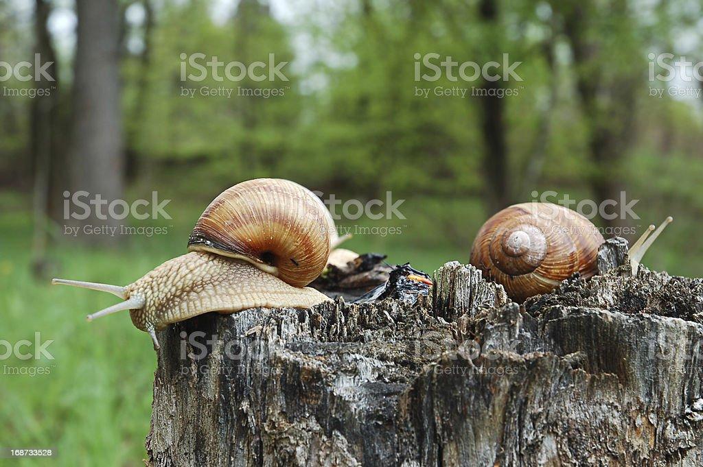Big snails royalty-free stock photo