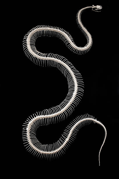 big snake – Foto