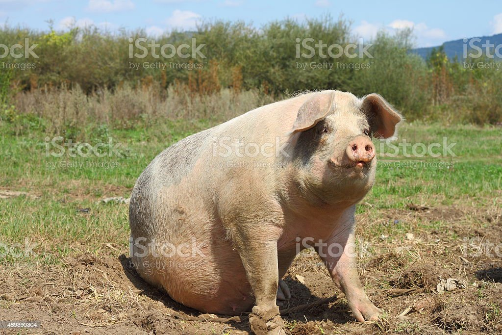 big sow stock photo