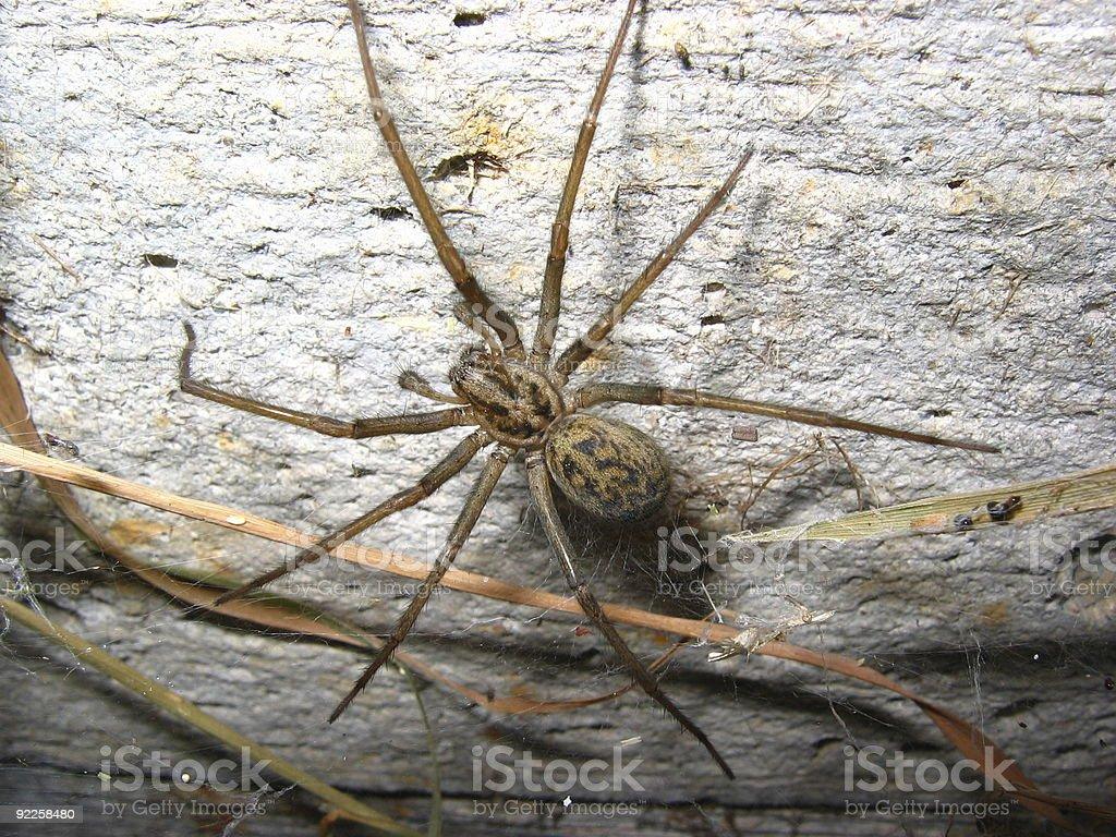 Big Spider 1 royalty-free stock photo