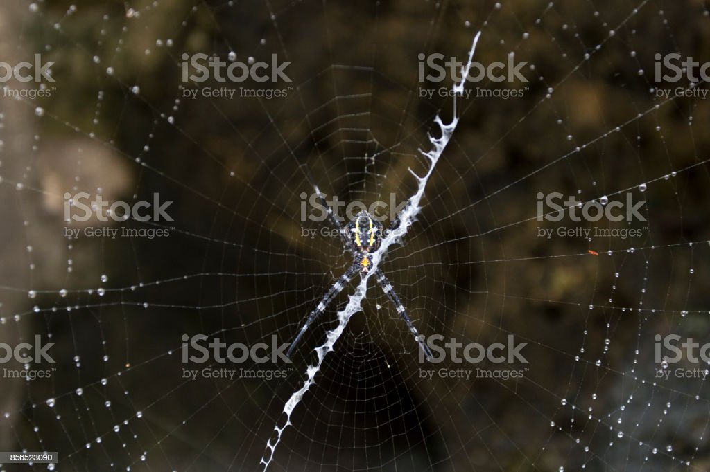 Big spider in Indonesia stock photo
