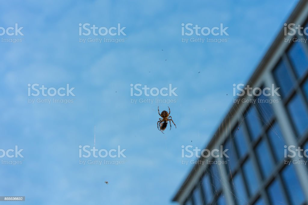 big spider in net with prey close up at evening night building in the background blue hour macro stock photo
