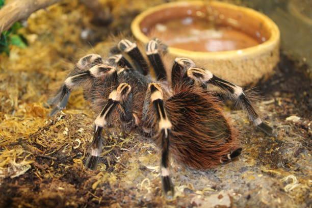 Gran araña tarantula brachypelma - foto de stock