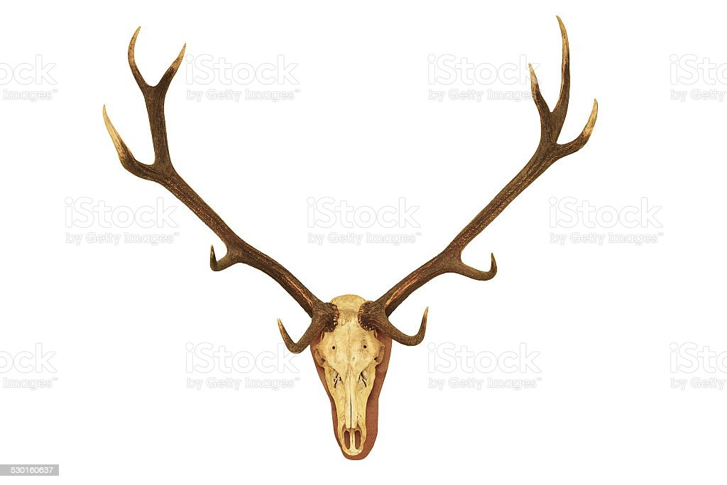 big stag hunting trophy stock photo