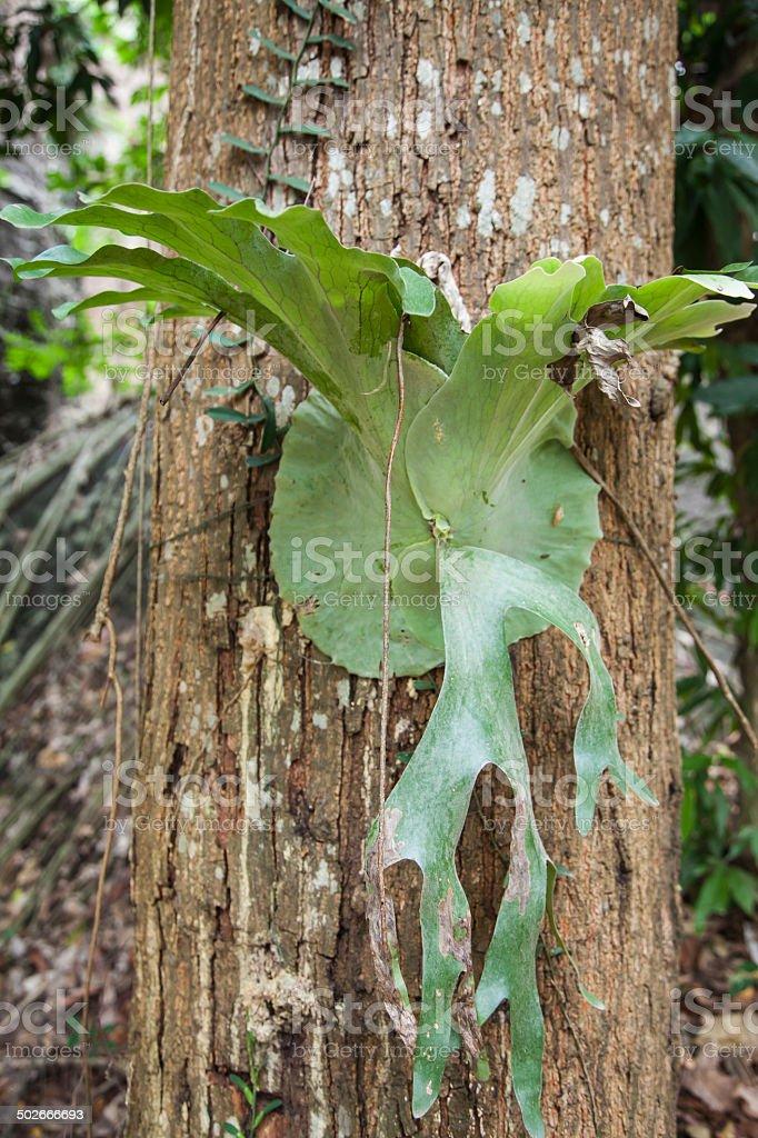 Big staghorn fern stock photo