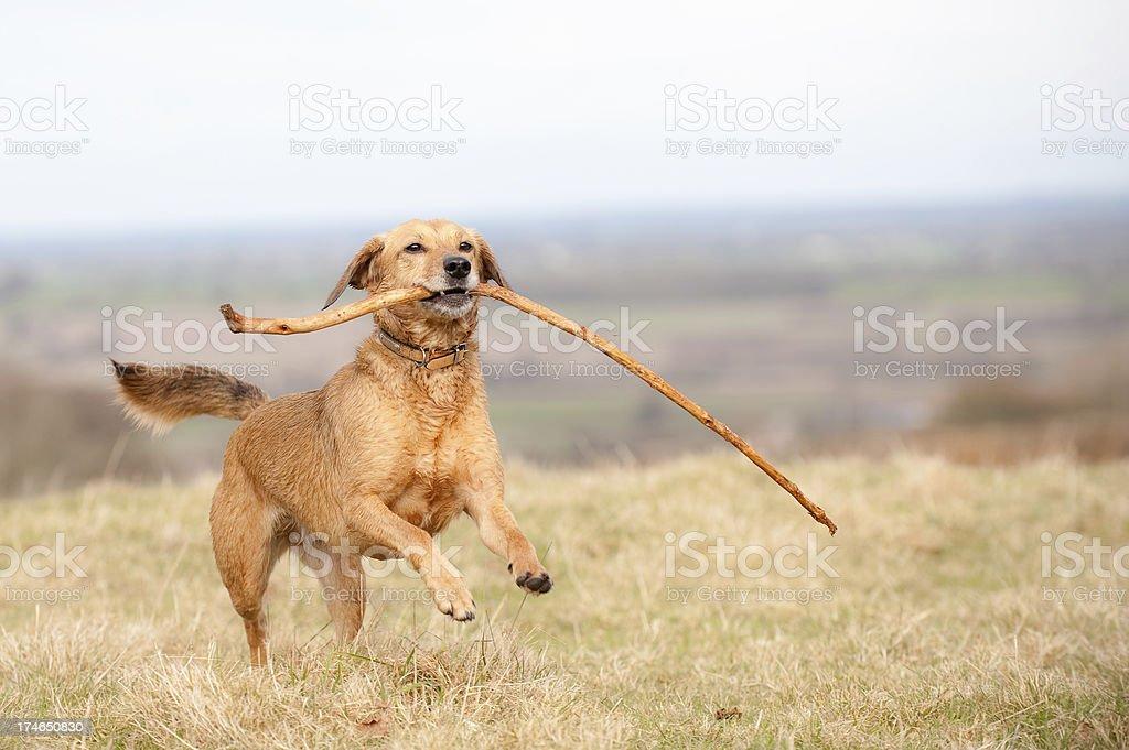big stick! royalty-free stock photo