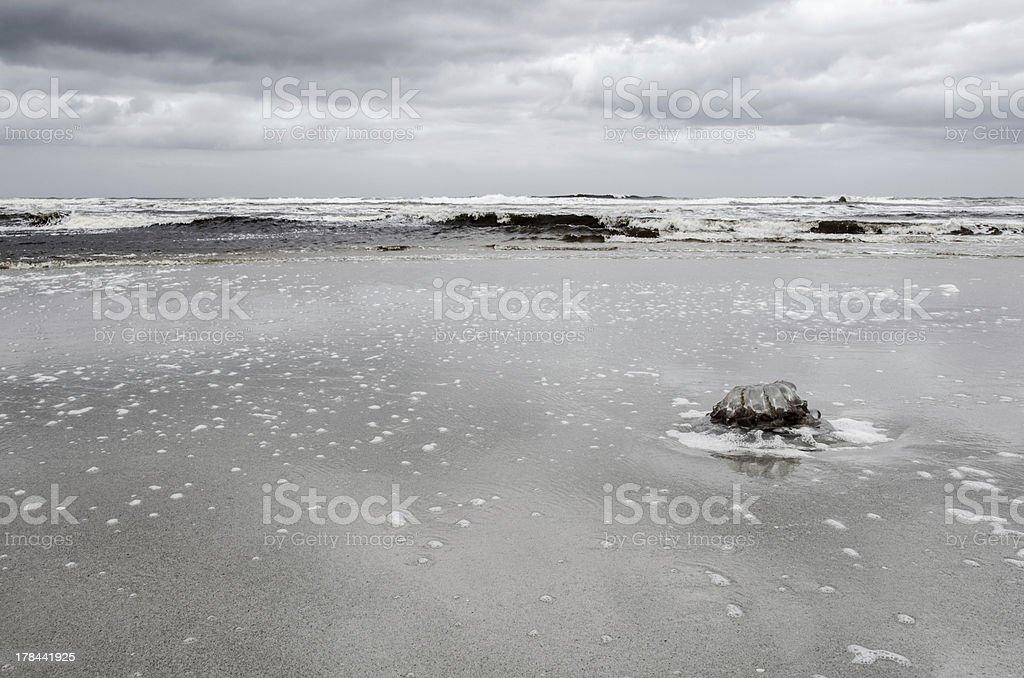 Big stranded dead Jellyfish on beach royalty-free stock photo