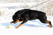 istock Big strong Rottweiler dog pulls the leash winter outdoors 611994774