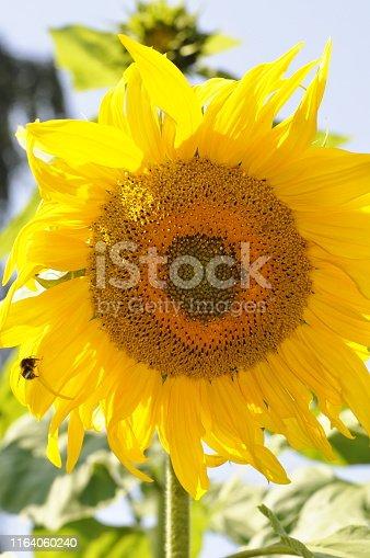 Closeup on the flowerhead of a sunflower plant