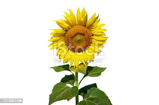Big sunflower and leaf on isolated white.