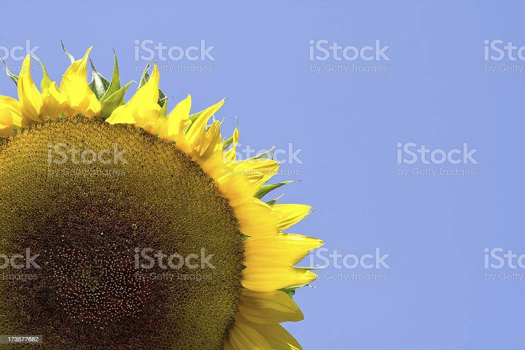 Grande girasole - foto stock