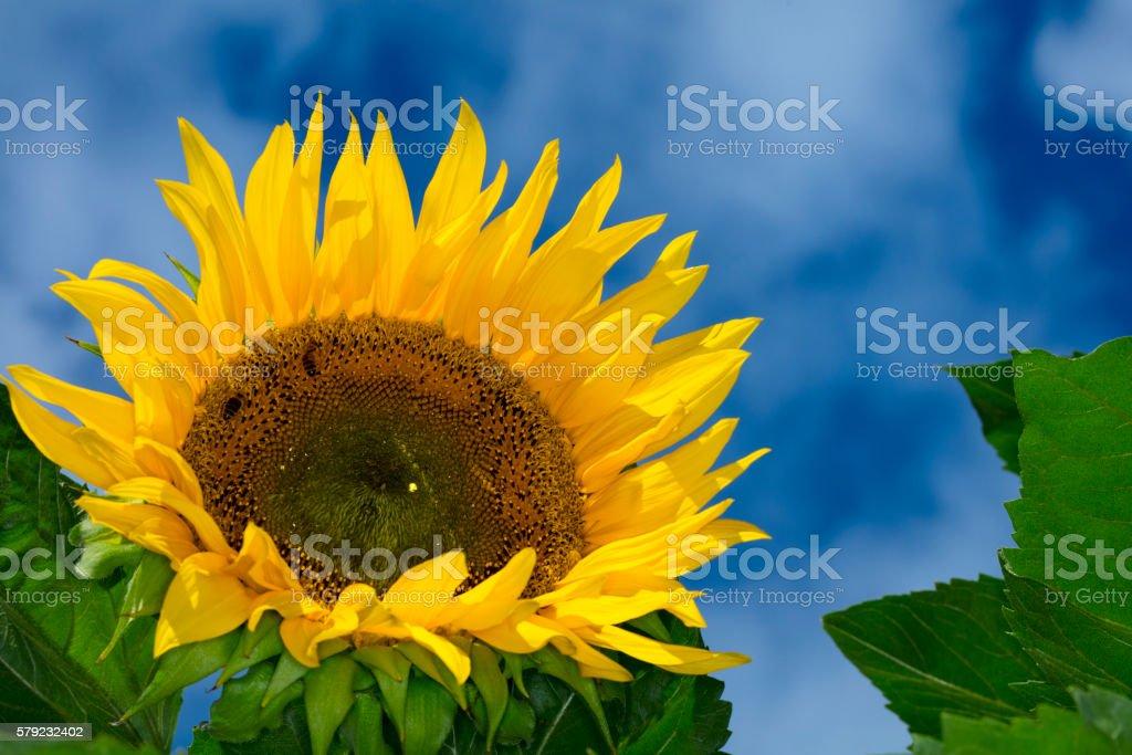 Big Sunflower stock photo