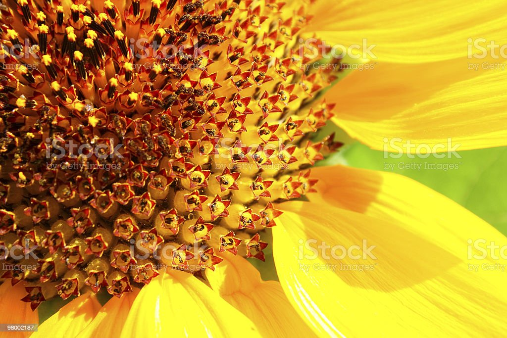 Big sunflower royalty-free stock photo