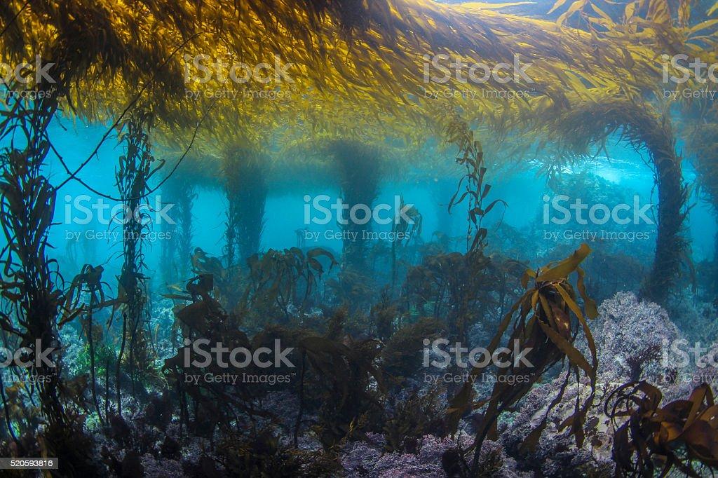 Big Sur Kelp Forest stock photo