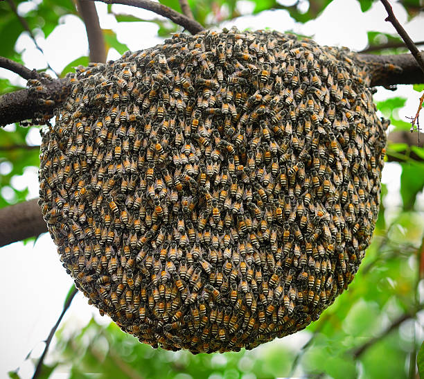 big swarm bee on tree - swarm of insects stock photos and pictures