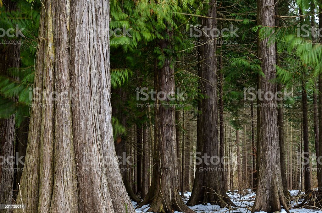 Big thuja trees stock photo