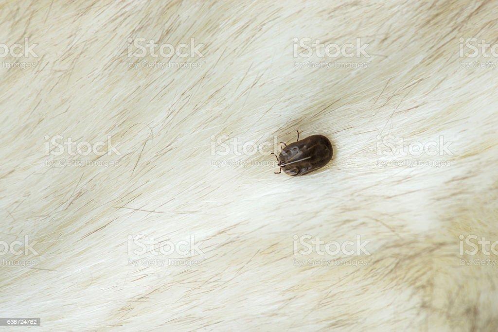 big tick on the dog stock photo