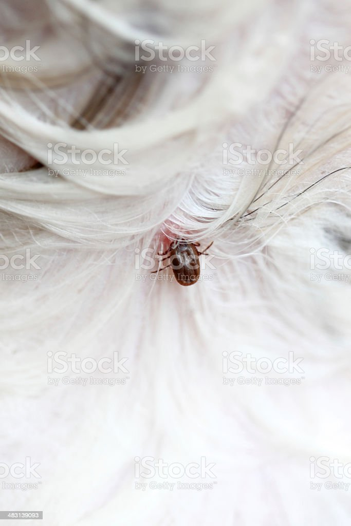 Big Ticks on a dog. stock photo