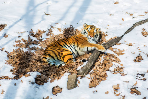 big tiger in the snow, the beautiful, wild, striped cat, in open woods, looking directly at us. - carnivora stock photos and pictures