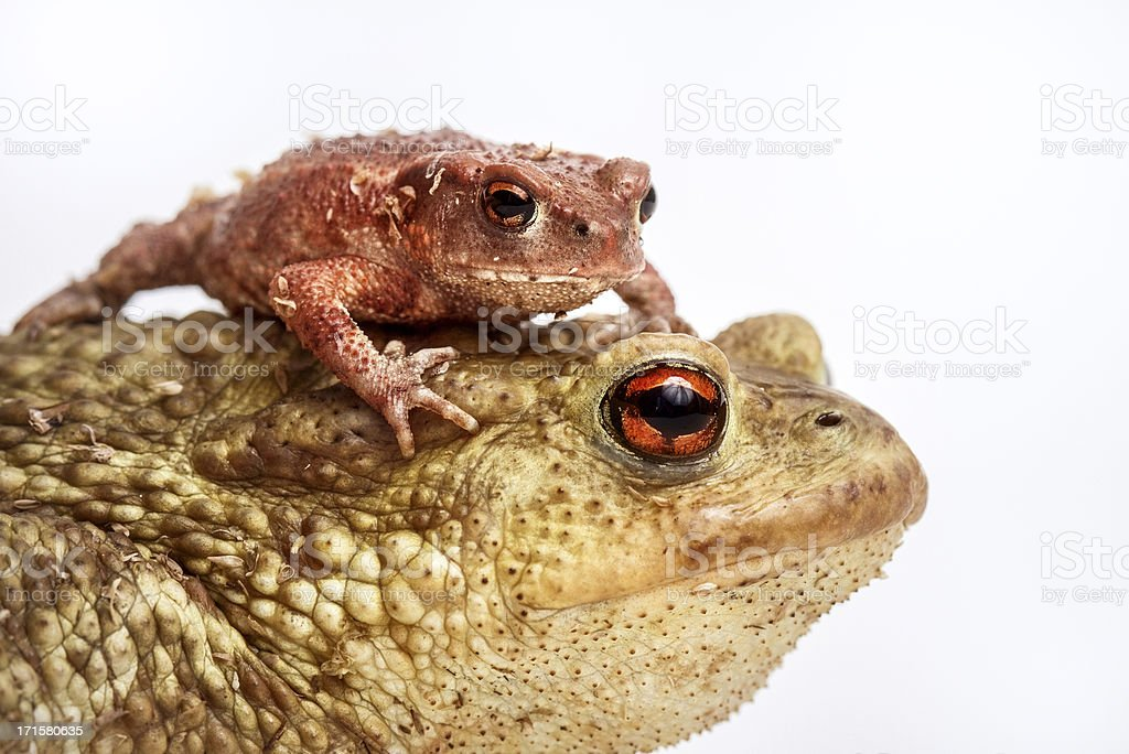 Big toad and small one stock photo
