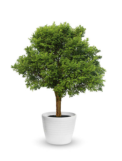 big tree a potted isolated over white - blumentopf groß stock-fotos und bilder