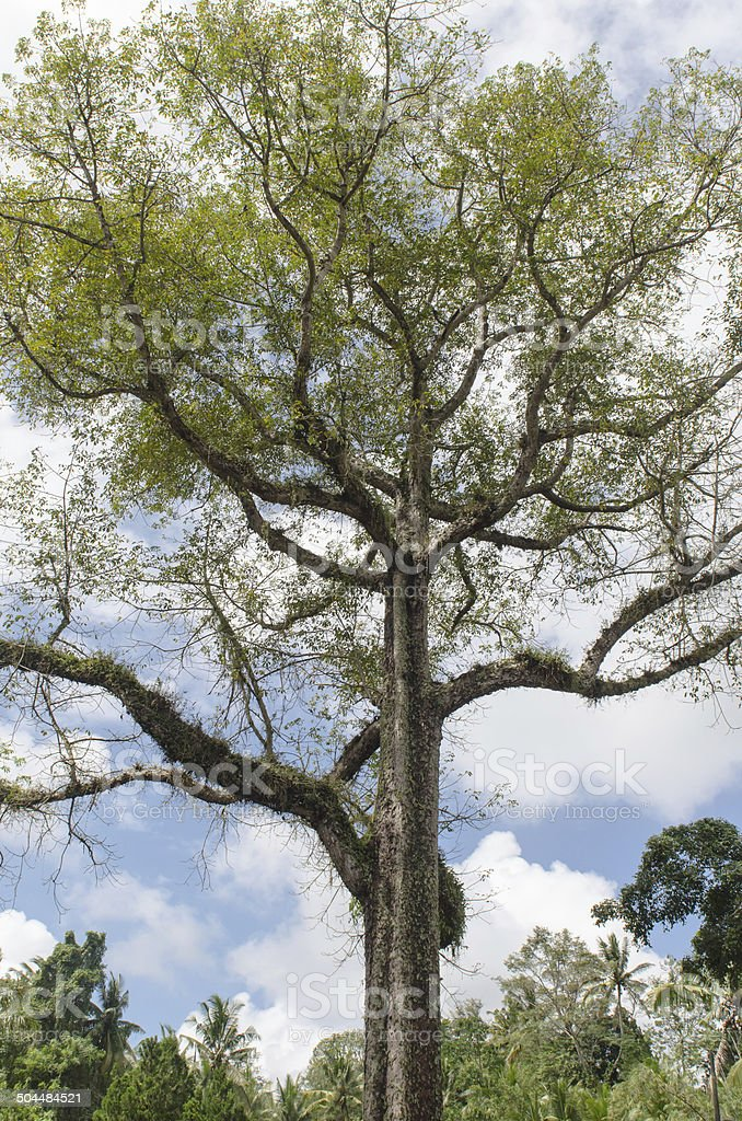 Big tree at Goa Gajah temple in Bali stock photo