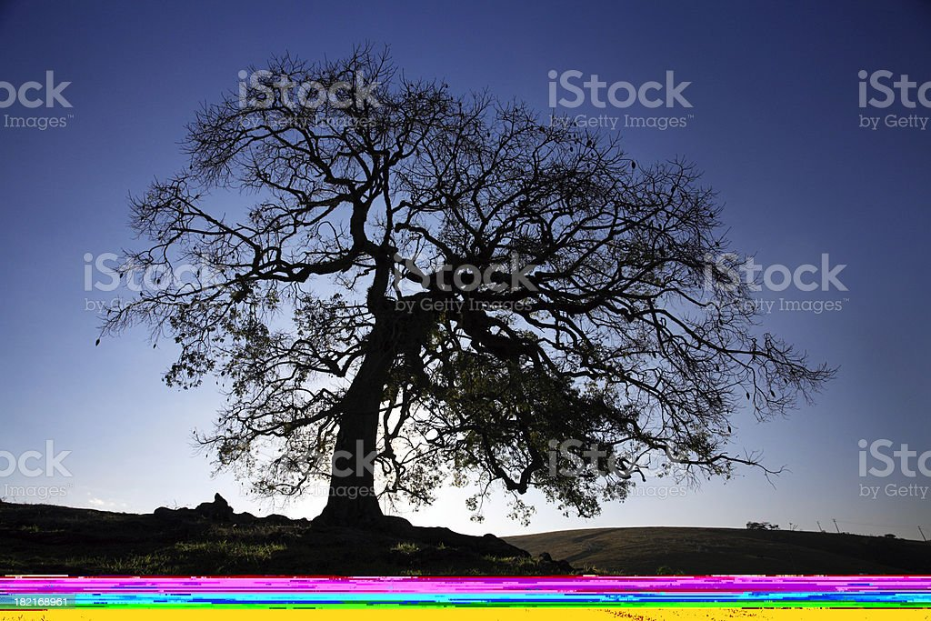 Big tree at sunset (Brazil) royalty-free stock photo