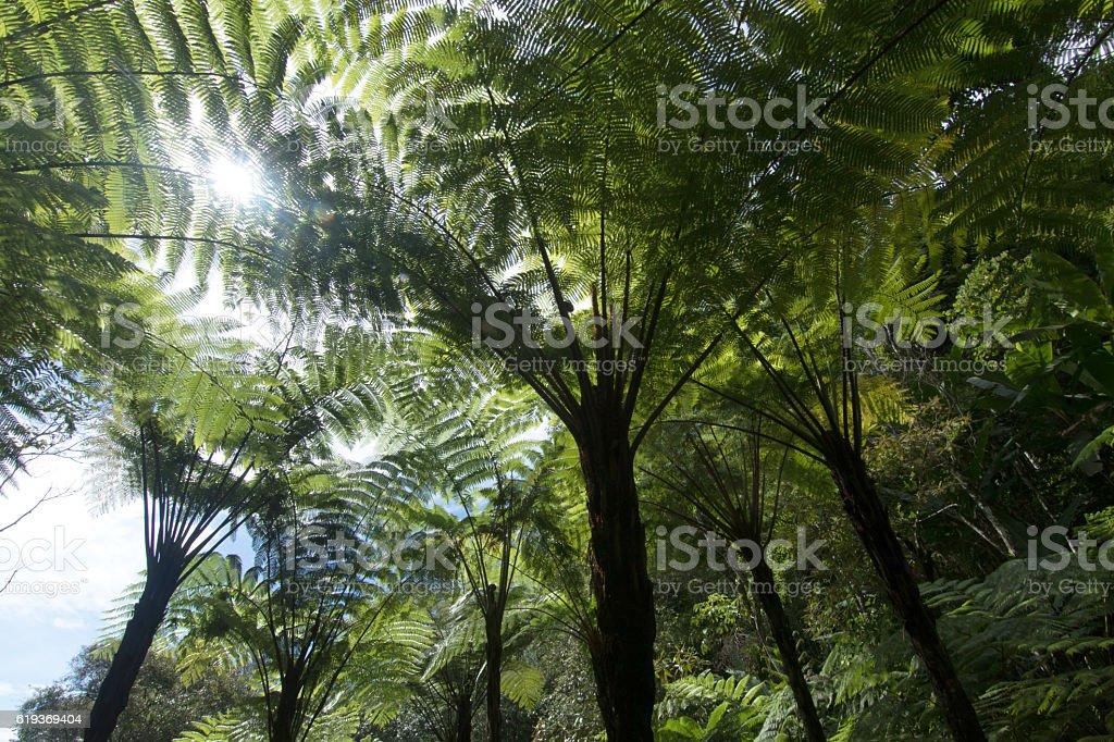 Big Tree fern in the jungle. stock photo