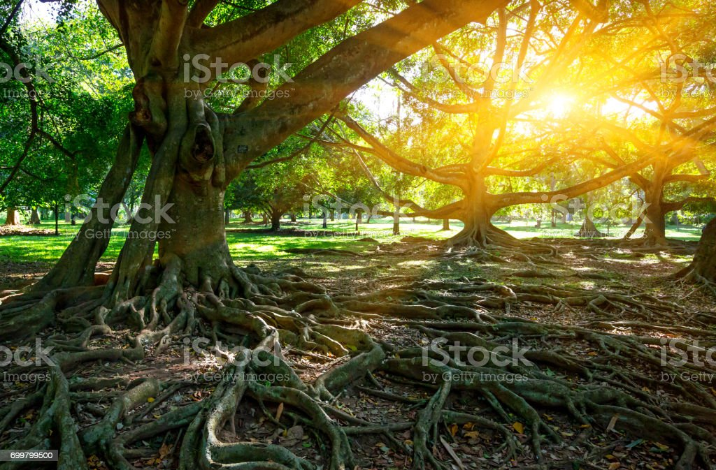 big tree ficus stock photo