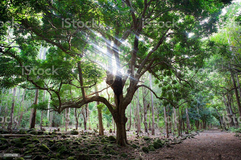 Big tree in forest on Mauritius stock photo