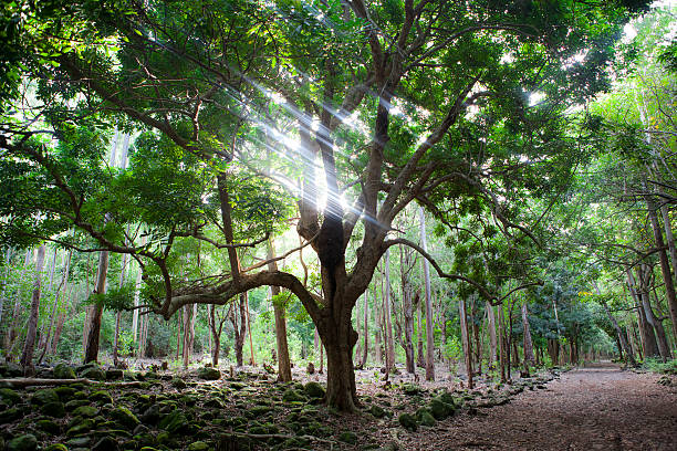 Big tree in forest on Mauritius Big tree in Black River Gorges national forest on Mauritius island, sunlight ravine stock pictures, royalty-free photos & images