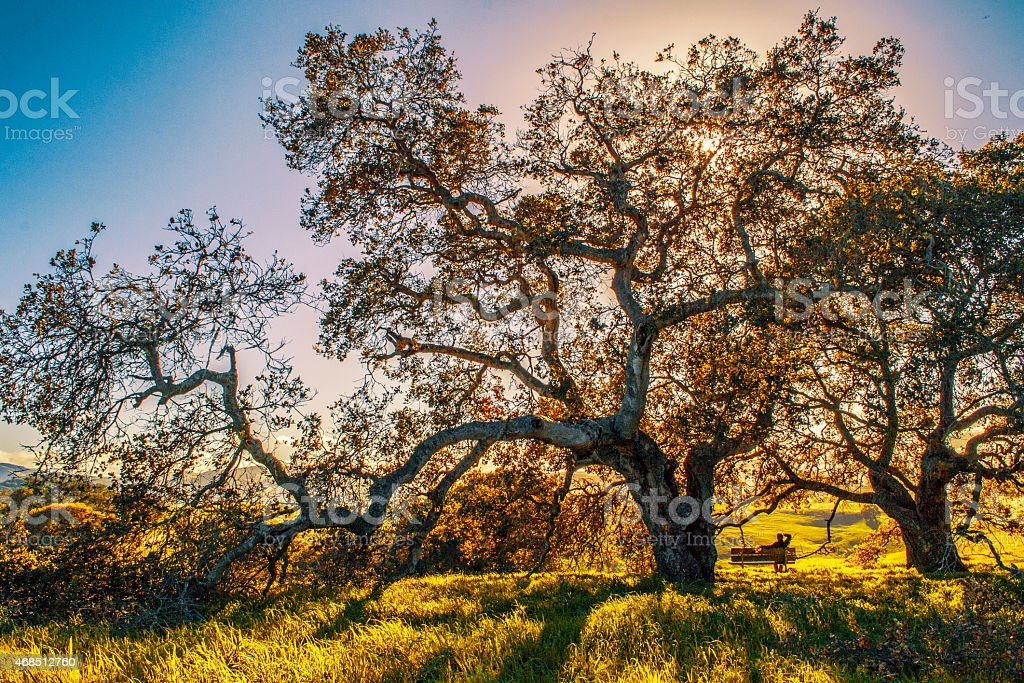Big Tree in Sonoma County stock photo