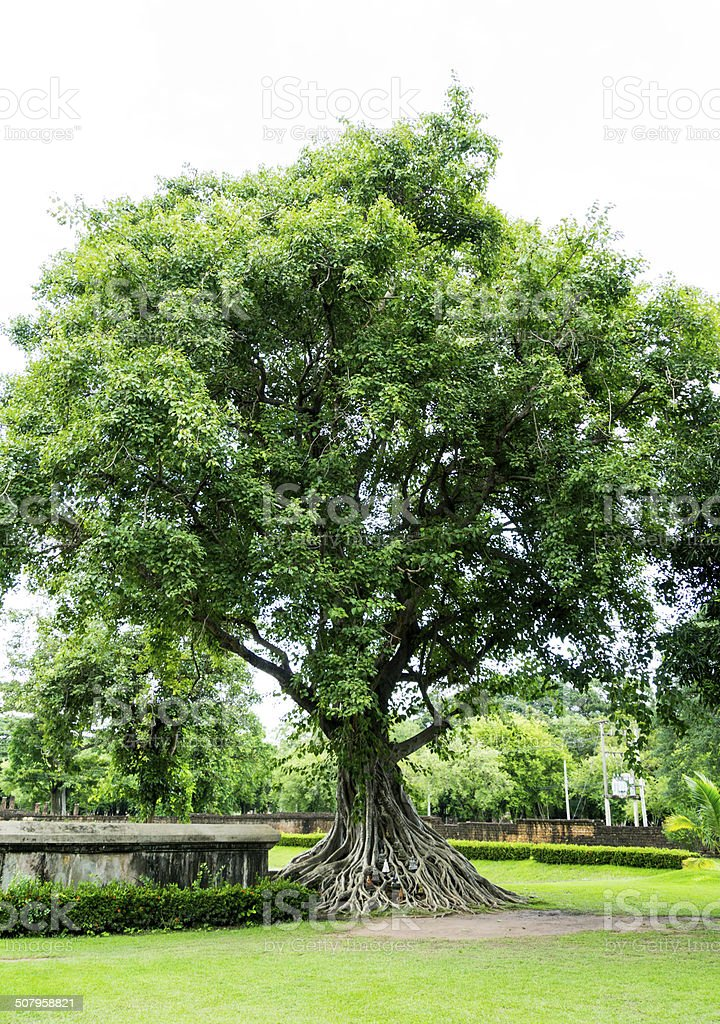 Big tree in Sukhothai, Thailand stock photo