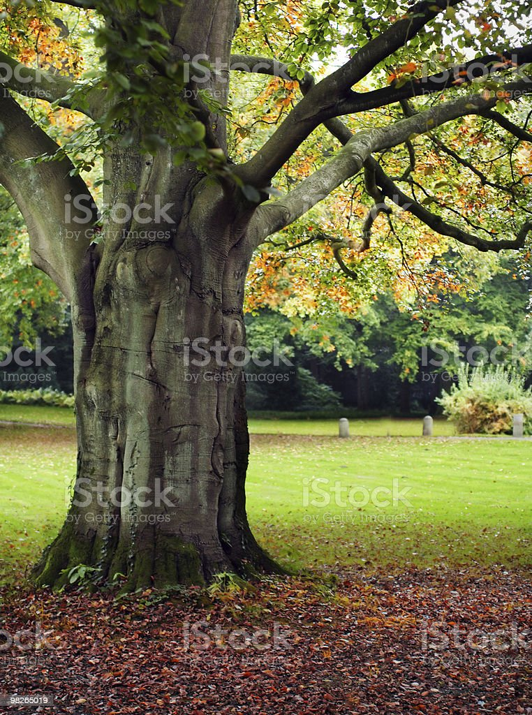 Big tree in the park royalty-free stock photo