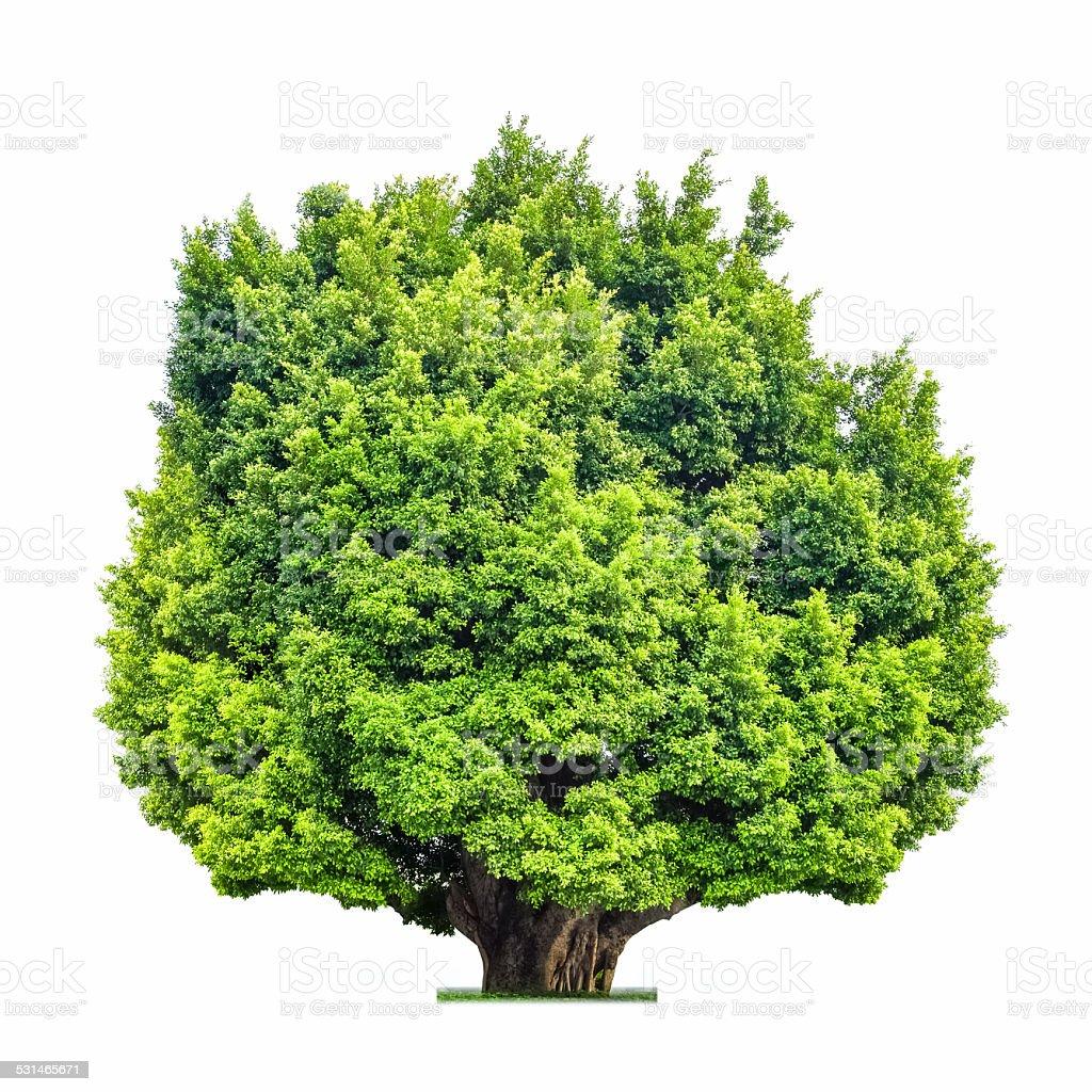 big tree isolated stock photo