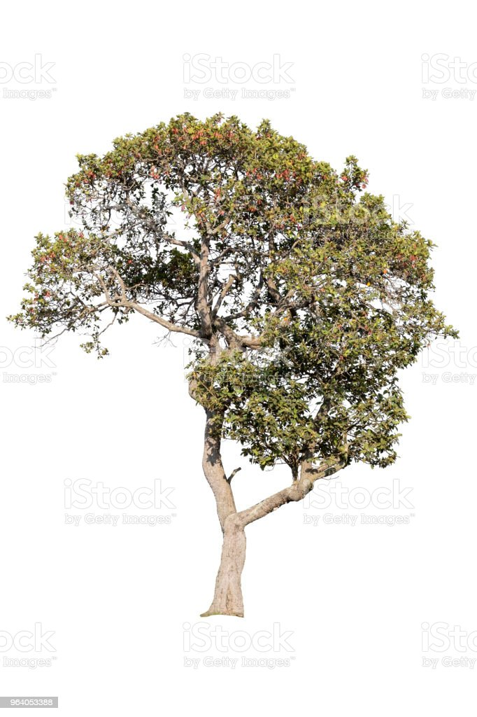 Big tree isolated. - Royalty-free Abstract Stock Photo